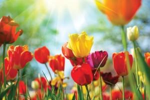 tulips-0ca8bbda
